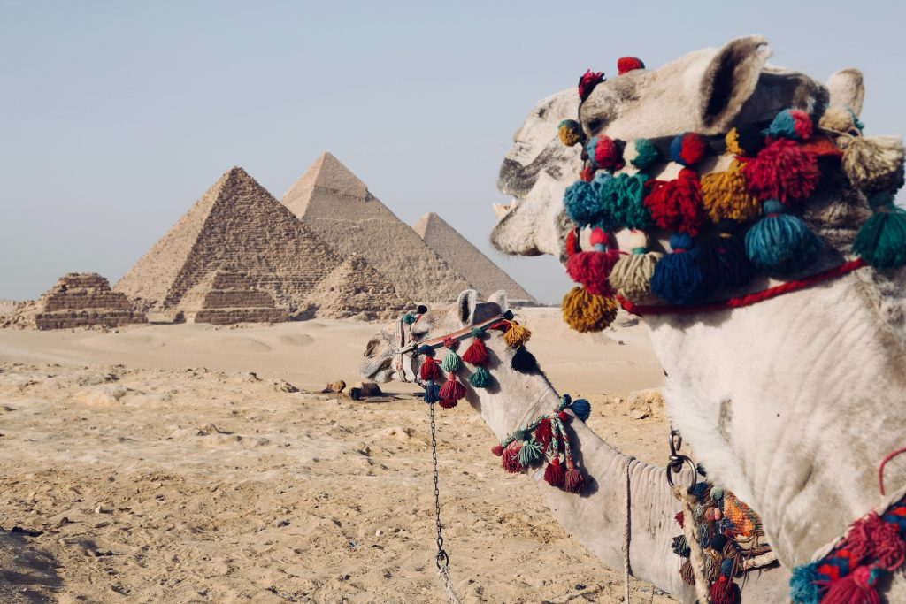 Camels by the pyramids in Giza