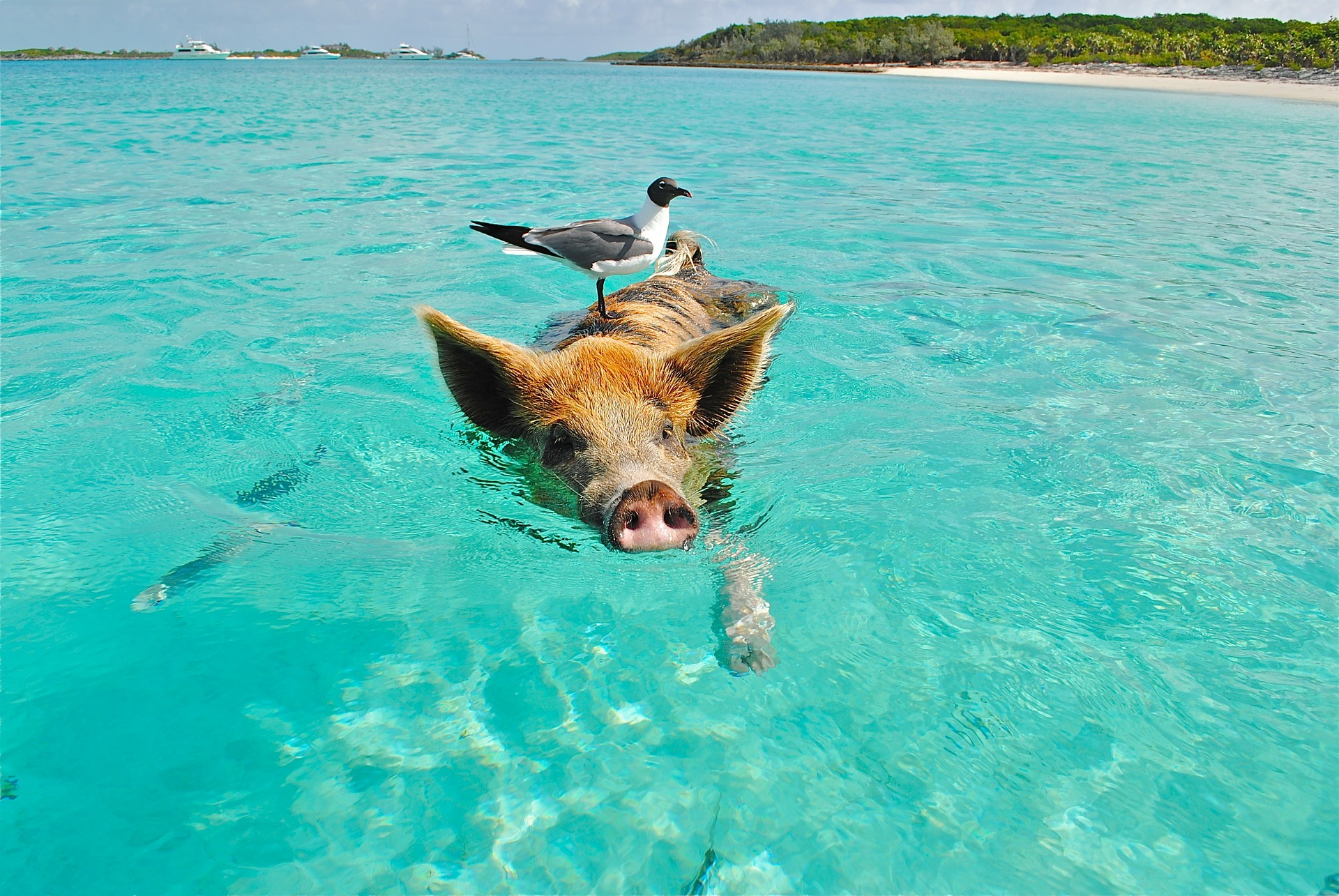 Swimming pig in the Caribbean