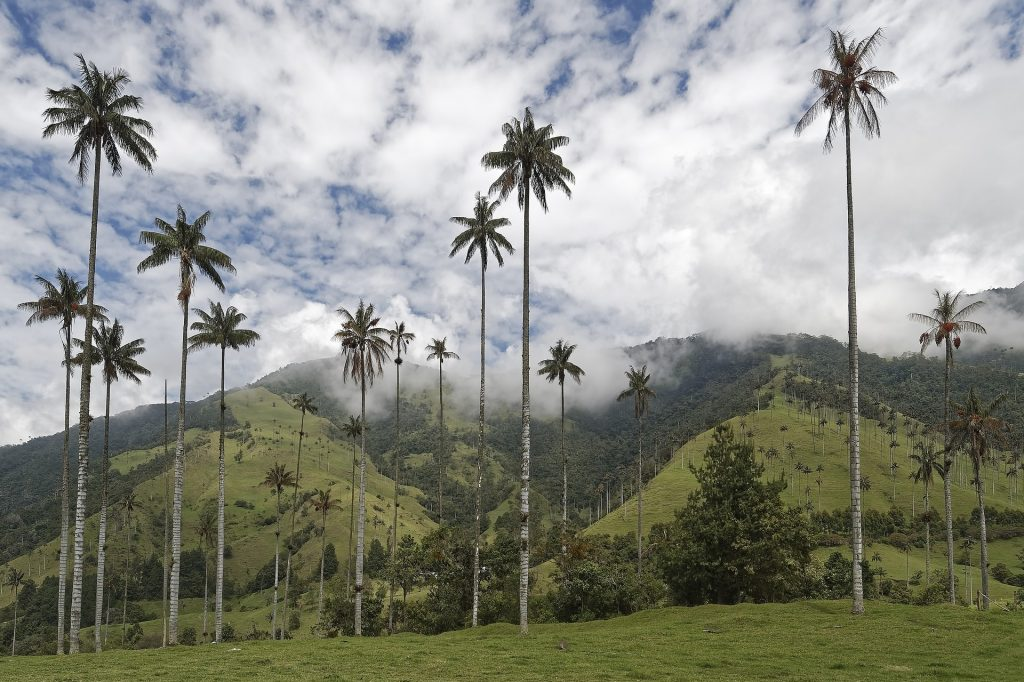 Colombia palm trees