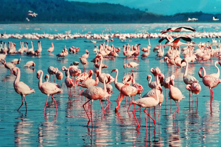 Flamingos in Kenya